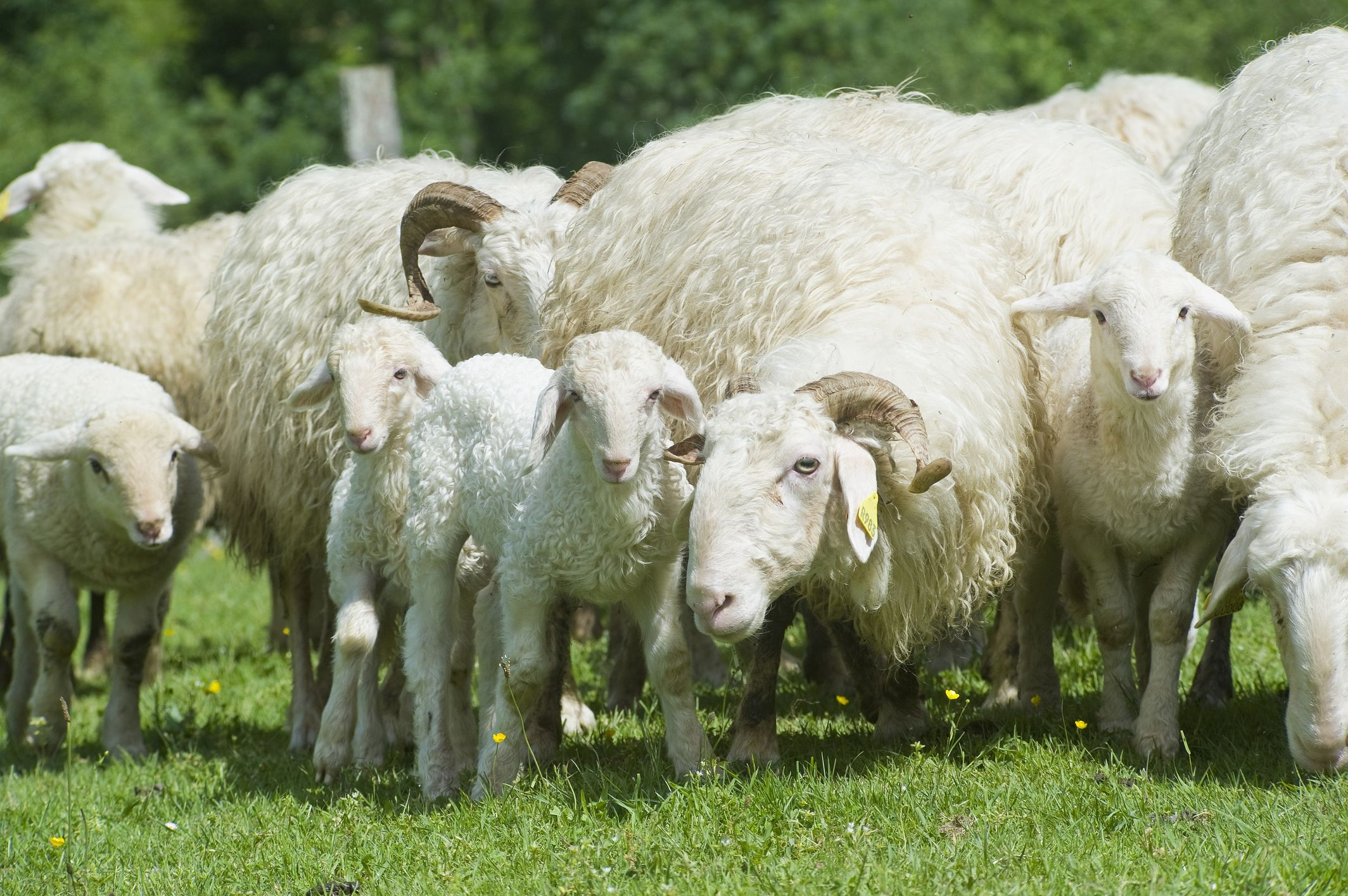 Pyrénées suckling lamb