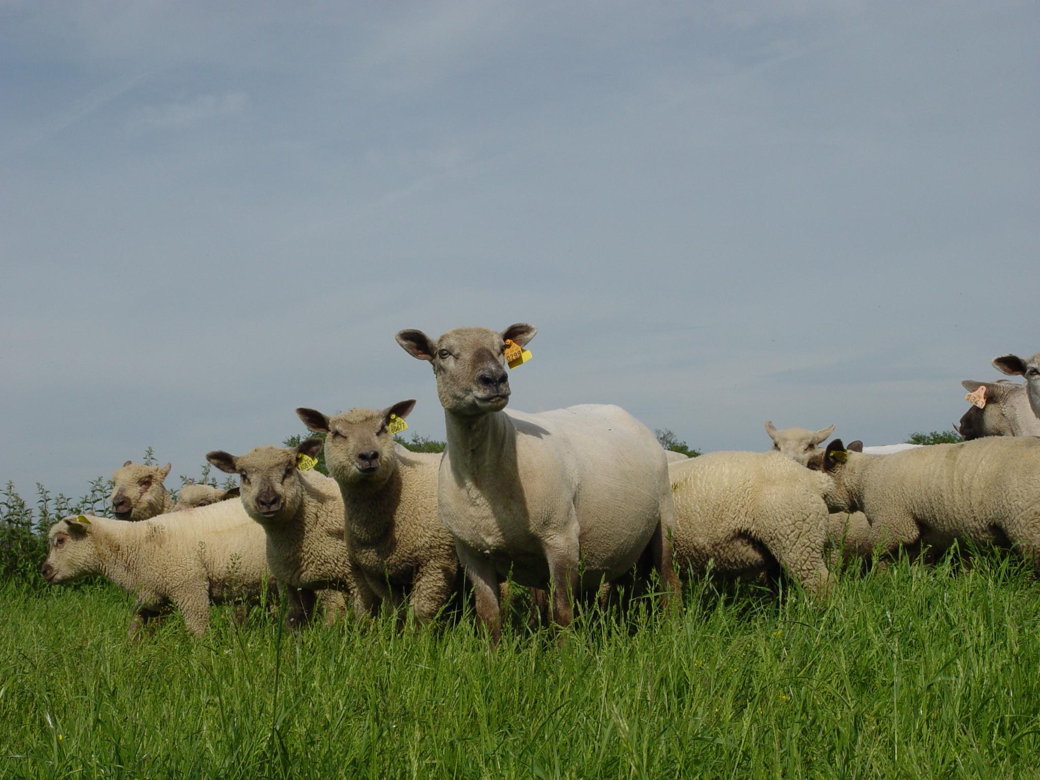 'Le Diamandin' lamb