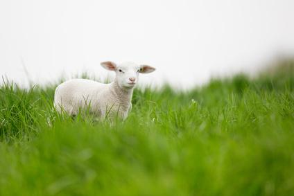 'Agneau de l'Estuaire' marsh lamb