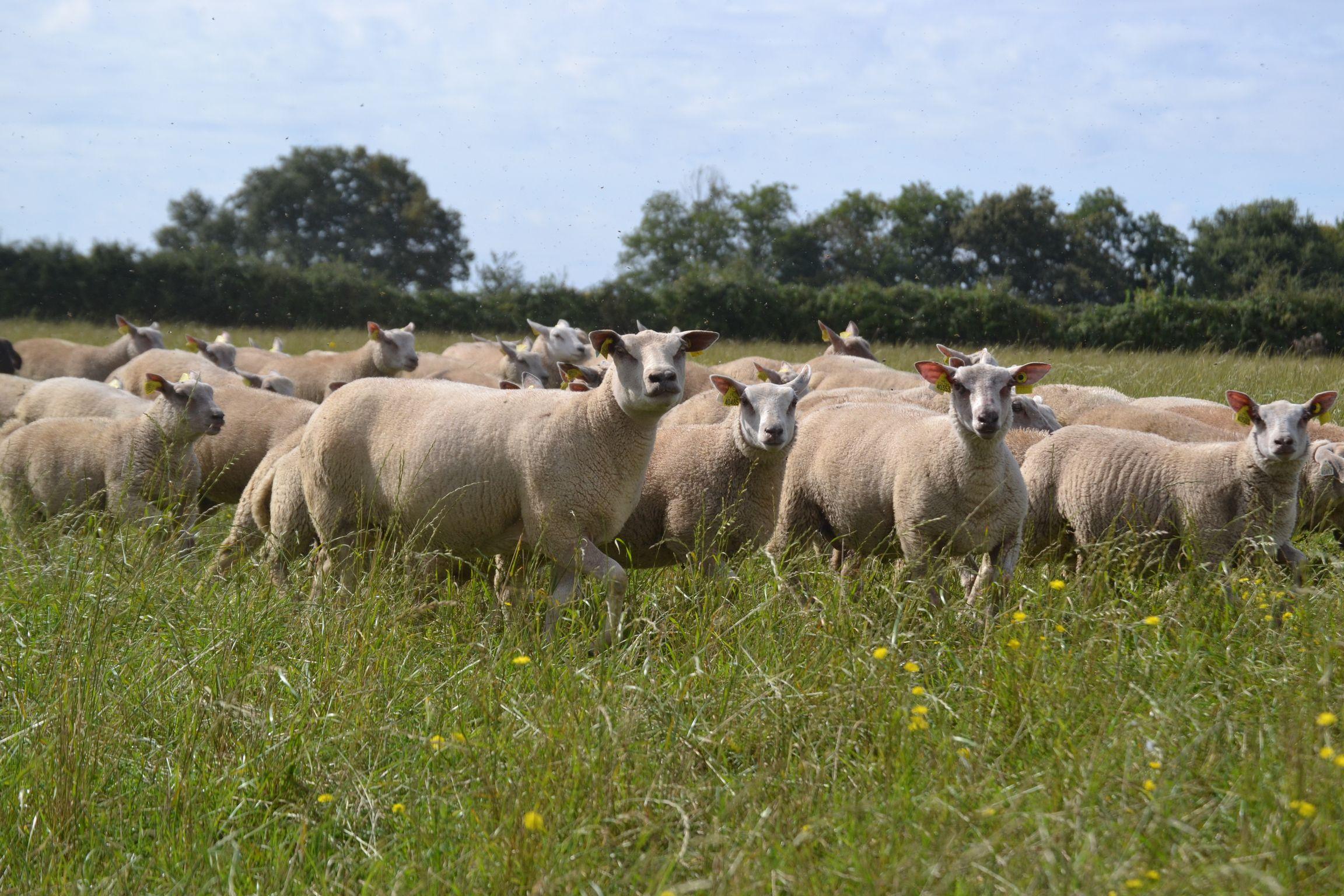 Poitou-Charentes lamb