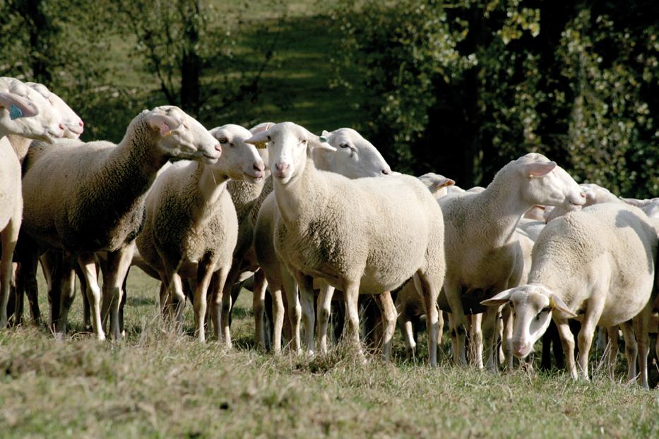Périgord lamb