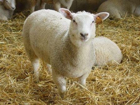 Limousin lamb