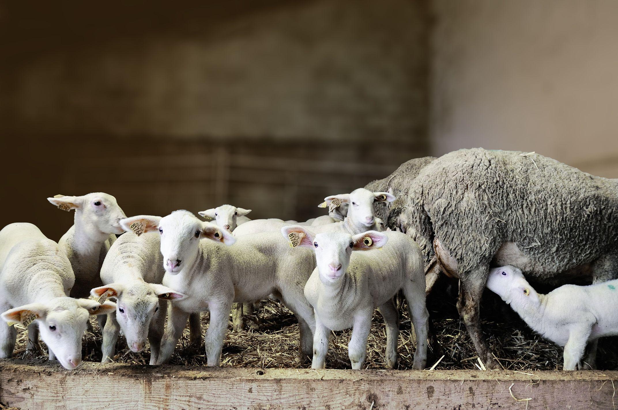 Free-range Amatik suckling lamb
