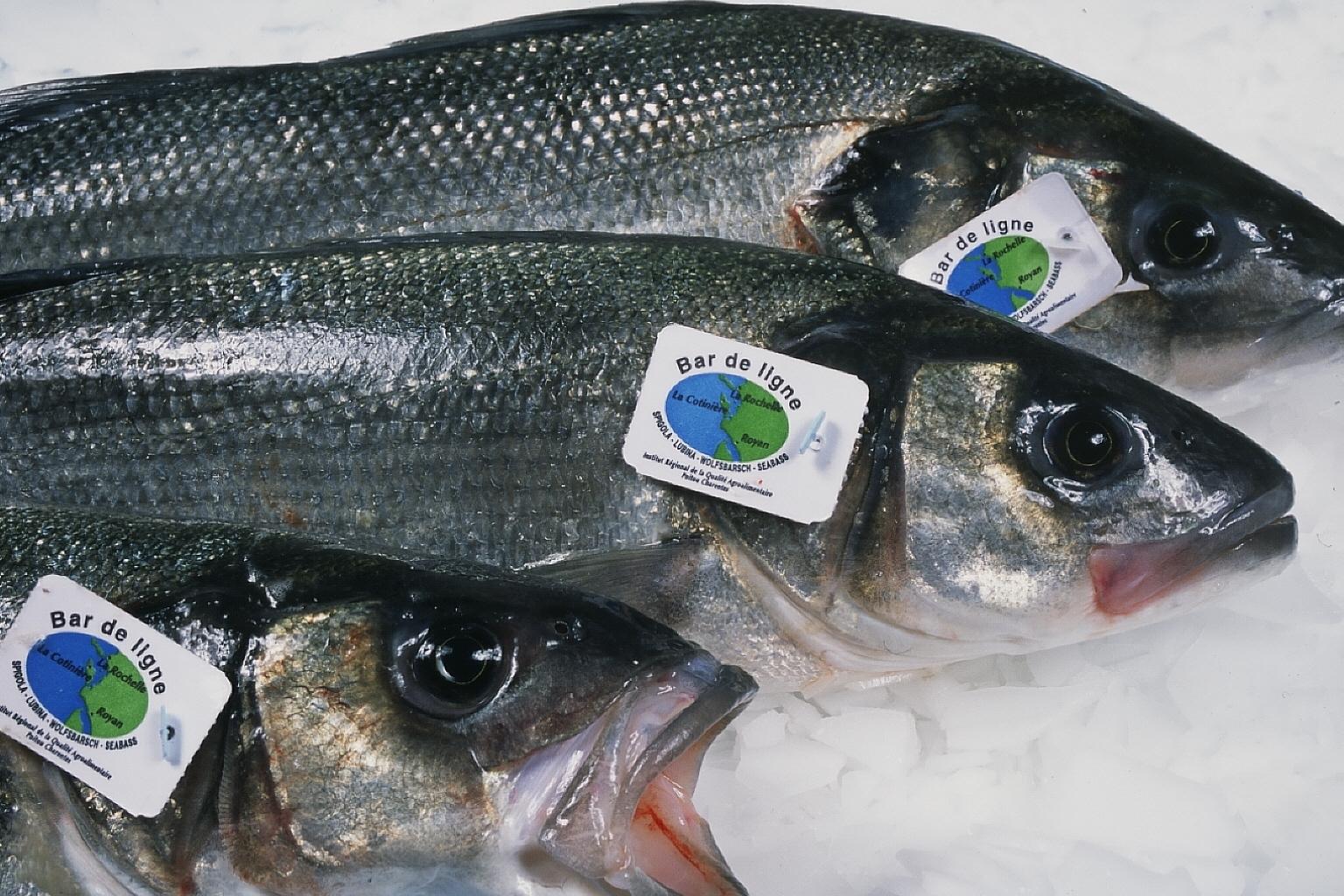 Line Sea Bass