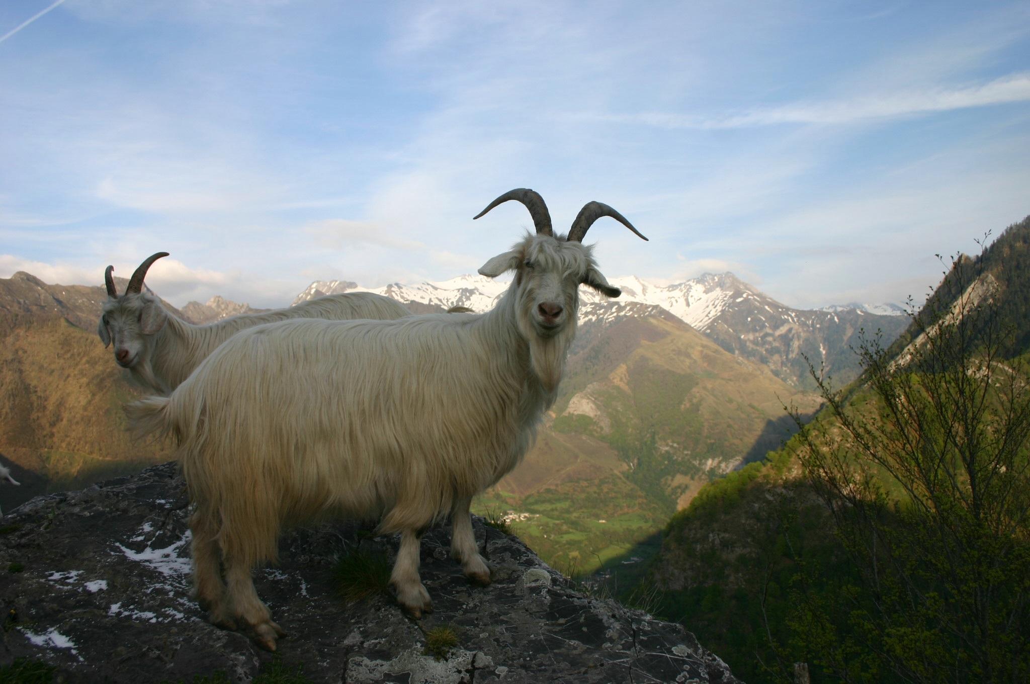 Chèvre des Pyrénées