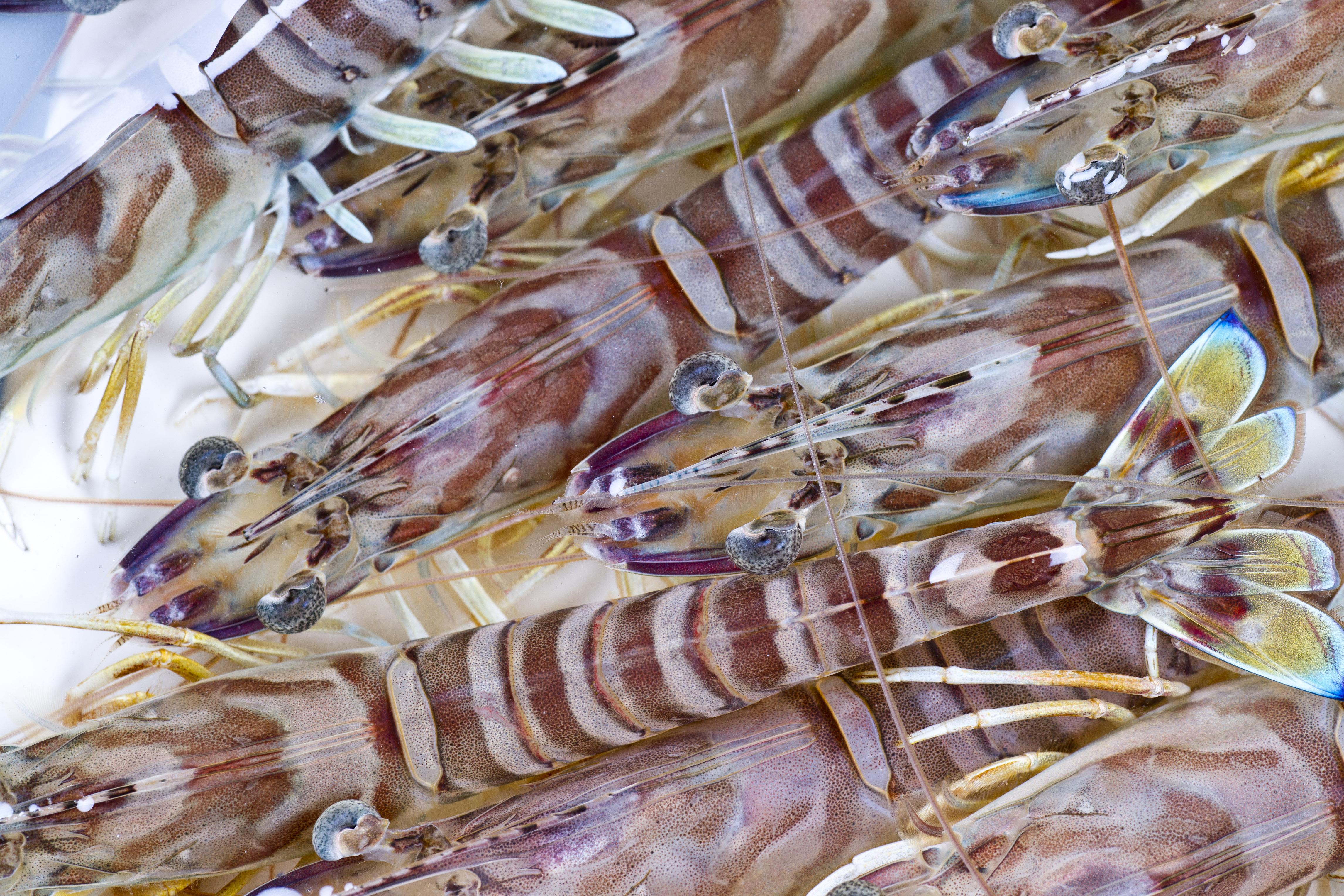 Imperial prawns form Marais Charentais