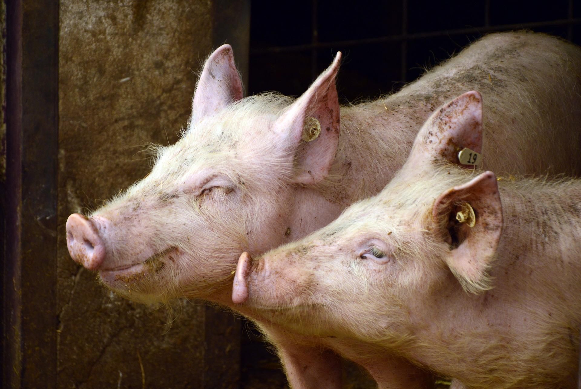 Porc du Sud-Ouest