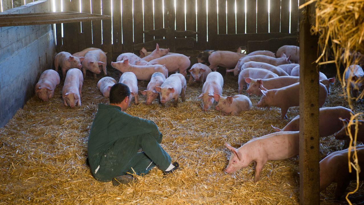 Porc du Limousin