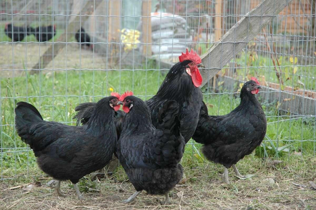 Gascon Chicken