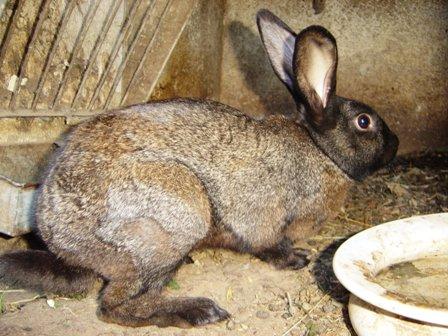 Poitou Rex Rabbit