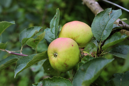 Brive Reinette Apple or Estre Apple
