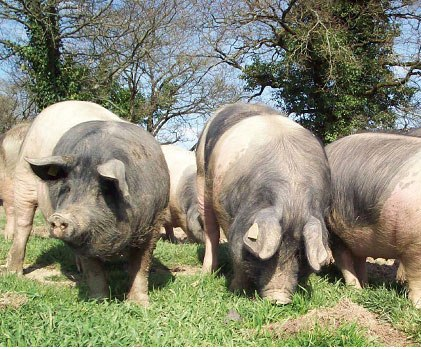 Black Bottom Limousin Pig