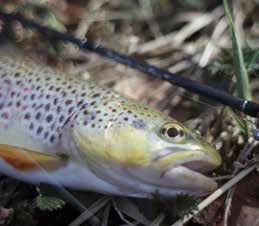 Trout from Limousin