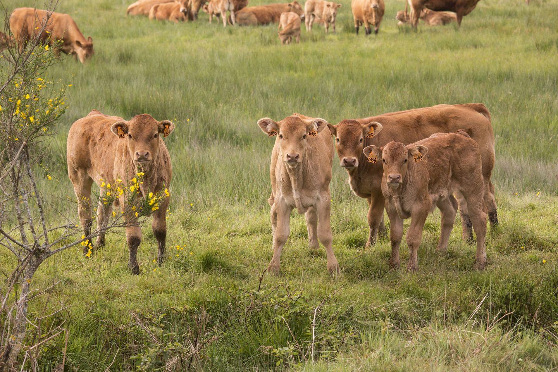 Veau fermier du Limousin