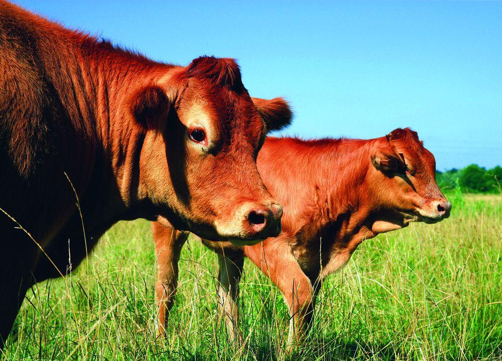 Poitou-Charentes Beef