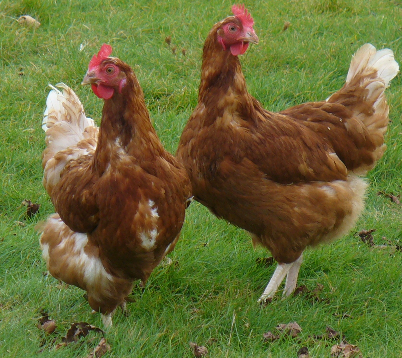 Gascony Farm Poultry