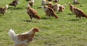 Val de Sèvres Farm Poultry